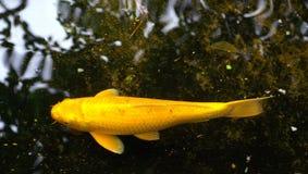Kigoi - Koi amarillo Foto de archivo libre de regalías
