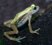 Kihansi Spray Toad Stock Photography
