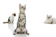 Kiiten American Shorthair is standing with two leg Royalty Free Stock Images