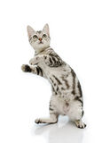 Kiiten American Shorthair is standing with two leg Royalty Free Stock Photography