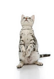Kiiten American Shorthair is standing with two leg Stock Photo