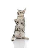 Kiiten American Shorthair is standing with two leg Royalty Free Stock Image
