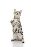 Kiiten American Shorthair is standing with two leg Stock Image