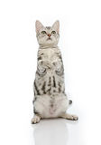 Kiiten American Shorthair is standing with two leg Royalty Free Stock Photo