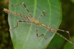 Kija insekt fotografia stock