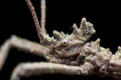 Kija insekt obrazy stock