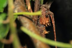 Kija insekt - Haaniella grayii Obrazy Stock