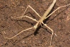 Kija insekt - Phasmatodea zdjęcia stock