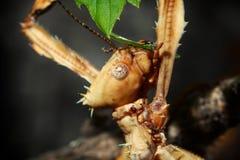 Kija insekta głowa obrazy royalty free