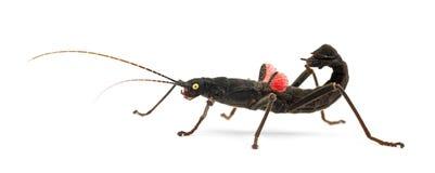 Kija przyglądający się Insekt, Peruphasma schultei obraz stock