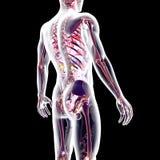 Kijk binnen menselijk lichaam Stock Afbeeldingen
