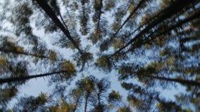 Kijk omhoog aan de blauwe hemel in groen hout door de het lange bomen, roteren en dromen stock footage