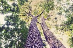 Kijk omhoog de houten boom in het bosclose-upschot van schaalschors stock afbeelding