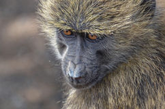Kijkend aap Stock Foto