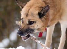 Kijkend agressief hond met een stok Stock Afbeeldingen