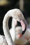 Kijkend Flamingo Stock Afbeeldingen