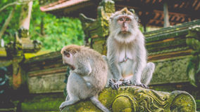 Kijkend Macaque-Aap droevig Met lange staart in het Aapbos in Bali stock afbeelding
