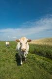Kijkend merkwaardig witte koe in een zonnige weide Stock Afbeeldingen