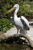 Kijkend pelikaan Royalty-vrije Stock Foto's