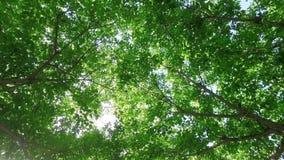 Kijkend stijgend en achteruit zacht vallend van een zonneschijn gevulde verse groene boomluifel die, zacht in de wind ritselen stock video