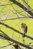 Kijkend Vogel Royalty-vrije Stock Afbeeldingen