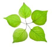 Kijkt groen blad vijf als een vijf-gerichte ster Royalty-vrije Stock Foto