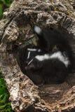 Kijkt het baby Gestreepte Stinkdier (Mephitis-mephitis) Linker in Logboek Stock Foto's