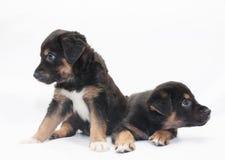 Kijkt klein zwart puppy twee met bruine vlekken in verschillende direct Stock Foto