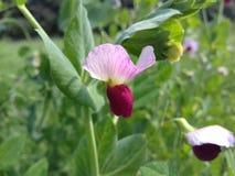 Kikärten blommar i fält fotografering för bildbyråer