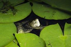 kika sköldpadda Royaltyfri Foto