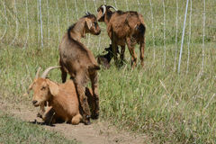Kiki goats in pasture Stock Image