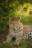 Kikilezi female Leopard Royalty Free Stock Image
