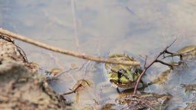 Kikker in de rivier stock video