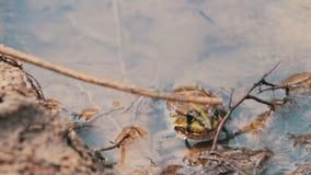 Kikker in de rivier stock videobeelden