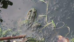 Kikker in de Rivier dichtbij de Lelies stock footage