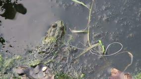Kikker in de Rivier dichtbij de Lelies stock video