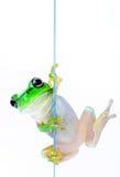 Kikker die uit van achter glas gluurt Stock Fotografie