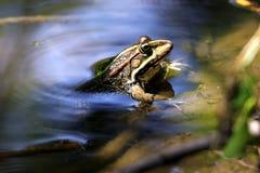Kikker die uit van water kijkt stock afbeeldingen