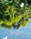 Kikker die uit weerspiegelende vijveroppervlakte gluren royalty-vrije stock afbeelding