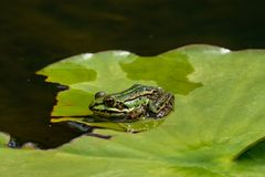 Kikker die van het Rana esculenta- gemeenschappelijke water in een meer zonnebaden royalty-vrije stock foto's