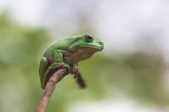 kikker, dier, Royalty-vrije Stock Afbeeldingen