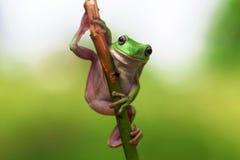 Kikker, dieren, Royalty-vrije Stock Foto