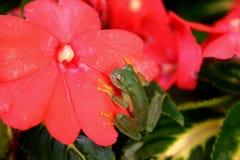 Kikker in een bloem Stock Foto's