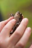 Kikker in een hand Royalty-vrije Stock Foto's