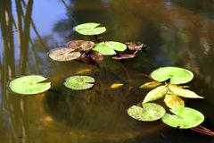 Kikker in een vijver met waterlelies royalty-vrije stock afbeelding