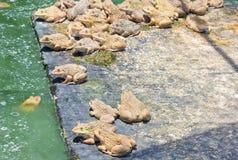 Kikker in een water - bad Stock Afbeelding