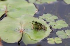Kikker en Waterlelieblad Stock Fotografie