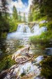 Kikker en watervallen Stock Foto's