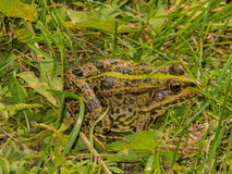 Kikker in het gras Stock Foto's