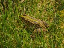 Kikker in het gras Stock Afbeeldingen